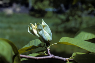 Populations of Magnolia acuminata may become increasingly isolated and may experience reduced genetic diversity without intervention. (photo by R.A. Howard)