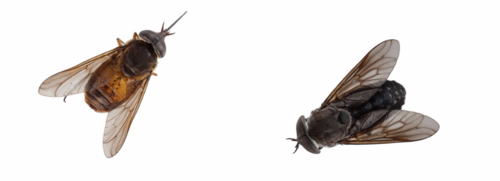 Two horse fly species: Fidena pseudoarimaculata (left); Tabanus nematocallus (right).