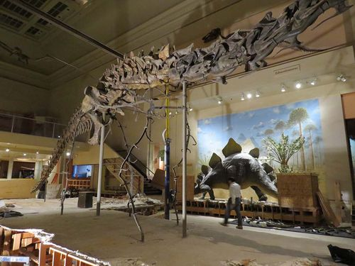 Diplodocus limbs and ribs dismantled