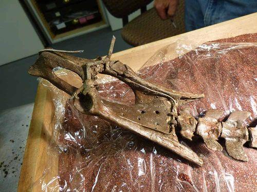 Orohippus pelvis underside