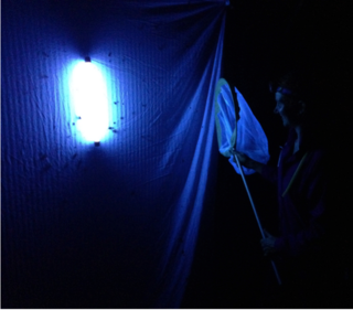 Black-light trapping a diverse array of moths, beetles, and other species.