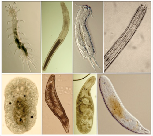 Some representative meiofauna. From upper left: an annelida, a nemertean, a gastrotrich, and the anterior part of a nematode. In the bottom, from left, a mollusk, a Platyhelminthes Proseriata, a Platyhelminthes Rhabdocoela, and a xenacoelomorph. Photos by: Freya Goetz (Annelida, Nemertea, Platyhelminthes Proseriata and Rhabdocoela), Ulf Jondelius (Xenacoelomorpha), Antonio Todaro (Gastrotricha), Alberto de Jesus Navarrete (Nematoda), Katharina Jörger (Mollusca).