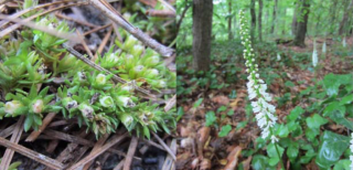 Pixie Moss peeking out beneath layer of pine needles (left) and Galax along bank of the Blackwater River (right). Photos by Mark T. Strong.