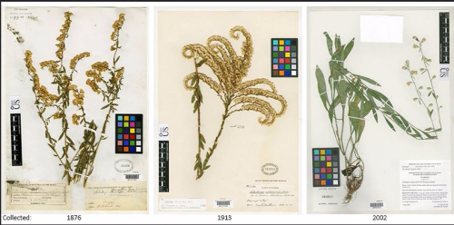 Three of the many historical goldenrod records kept in the U.S. National Herbarium at the Smithsonian's National Museum of Natural History. These plants were collected in Arizona, Florida and Alabama (left to right). Goldenrod samples in this herbarium were used to measure how rising atmospheric CO2 has impacted protein in pollen. (photo courtesy Smithsonian's National Museum of Natural History)