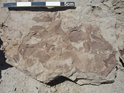 A slab of rock about half a meter in length holds many overlapping fossil leaves
