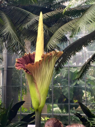 The corpse flower during peak bloom at the U.S. Botanic Garden in August 2016. (photo courtesy of the U.S. Botanic Garden)