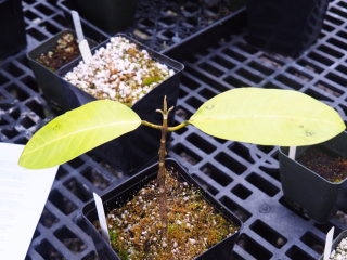 A cultivated individual of Melicope oppenheimeri being grown at the Olinda Rare Plant Facility on East Maui. (photo by Marc Appelhans)