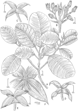 Illustration of Melicope oppenheimeri by Alice Tangerini.
