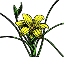 The logo for the Biological Conservation Newsletter is a depiction of Romulea sulphurea Bég., a member of the lily family. It was discovered in 1897, growing among rocks in the Pakhuis Pass above Clanwilliam in Cape Province, South Africa. Since its discovery, this species has never been found again. The cause of extinction is unknown. Artist Alice Tangerini of the Smithsonian Institution created this image using one of a few specimens that exist in the US National Herbarium.