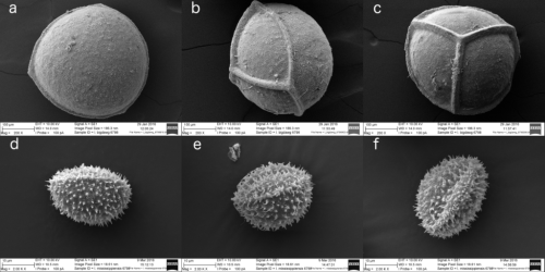 SEMs of megaspores (a, b, c) and microspores (d, e, f) of Isoetes mississippiensis displaying distal (a, d), equatorial (b, e), and proximal (c, f) views. Megaspores from Schafran MS-08, microspores from Taylor 6798. Megaspore magnification 200×; microspore magnification 2000×.