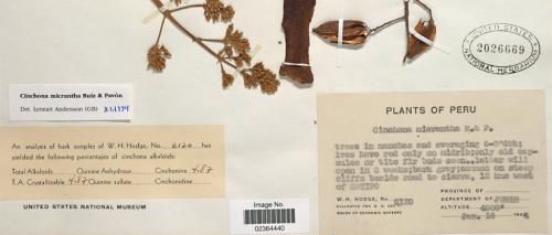 Cinchona micrantha 02364440 label