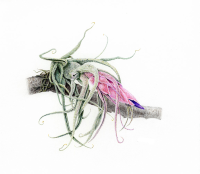 """Tillandsia pruinosa"" illustrated by Karen Coleman was displayed in the 2010 traveling exhibition, ""Losing Paradise? Endangered Plants Here and Around the World,"" at the National Museum of Natural History."