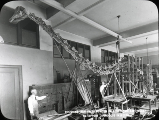 Fossil preparators, including Boss, examine the partially built mount of Diplodocus in the lab