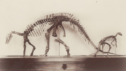 Gilmore's and Boss's mounted specimens of Camptosaurus, as they were displayed, side by side