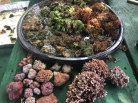 A sample of collected algae specimens during the Kaneʻohe Bay Bioblitz. (photo by Barrett Brooks)
