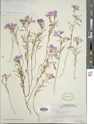 Included in the exhibition, Cultivating America's Gardens, is a specimen of Clarkia pulchella (Onagraceae) collected in 1946 east of Frenchglen, Oregon.