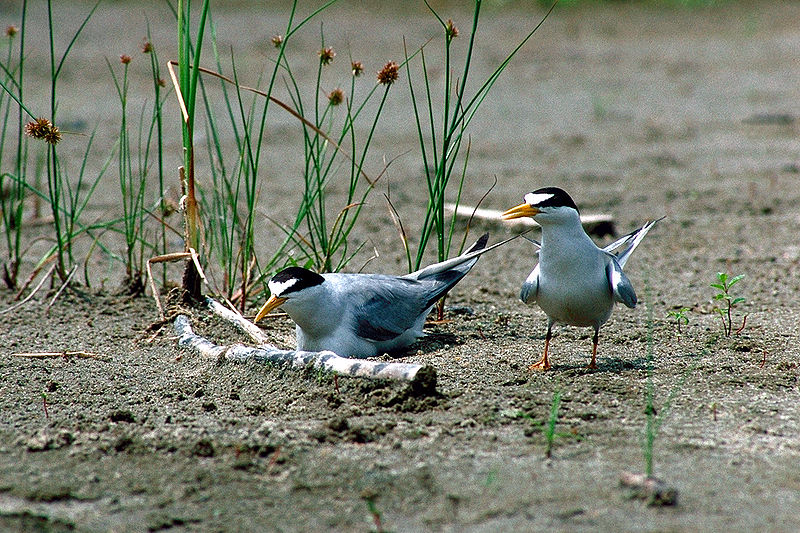 Nesting Least Terns