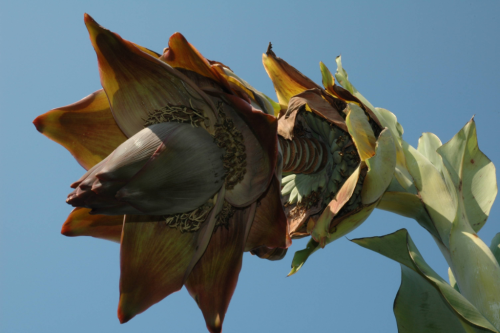 Ensete superbum blooming in the Botany Research Greenhouses. (photo by Leslie Brothers)