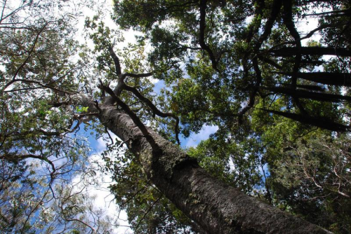 Hard to capture on their own because they live among a unique combination of other tree species, representatives of the new tree species, Melicope stonei, are around 5 to12 m tall with trunks measuring up to 25 cm in diameter. (photo by Kenneth R. Wood)