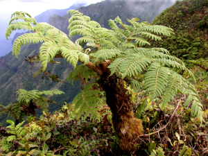A windblown individual of the tree fern Sphaeropteris feani. (photo by Ken Wood)