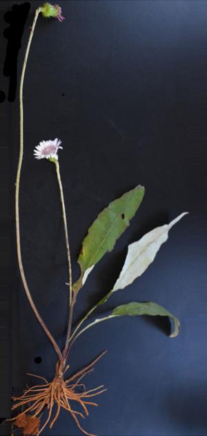 Gerbera delavayi (Image from Economic Botany 2017)
