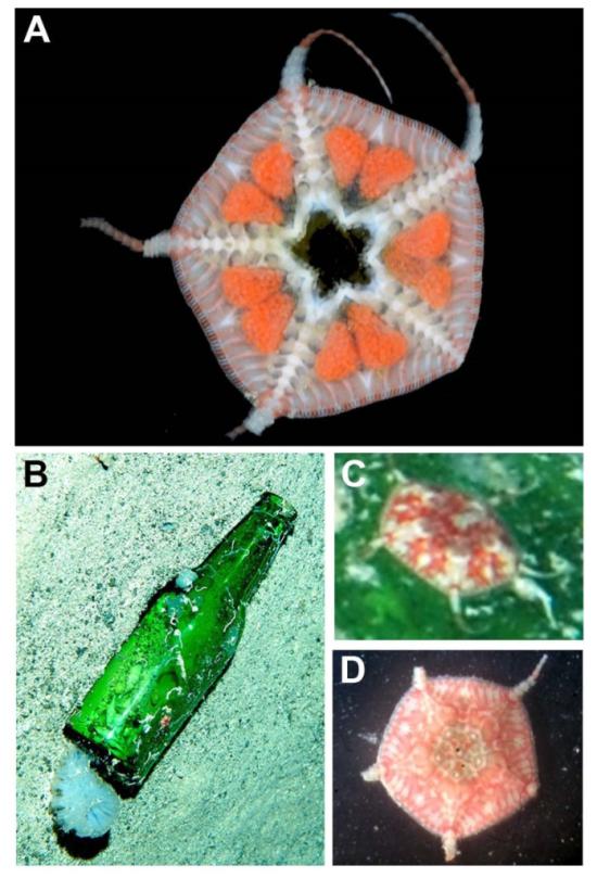 Figure 2. From Pawson, D.L. 2018.  Zootaxa 4378 (2).