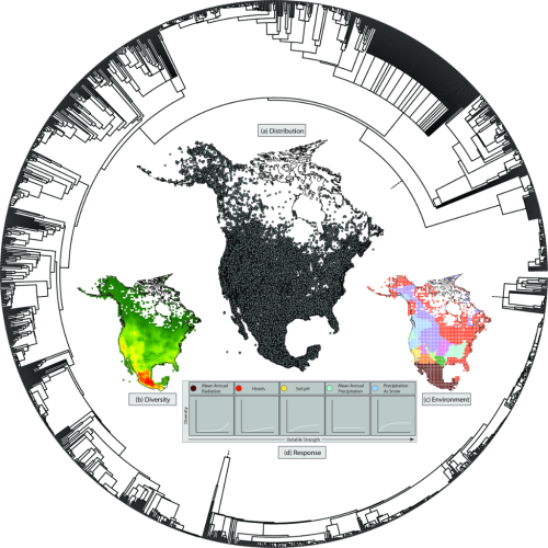 Integrating multiple lines of Big Data to answer large-scale questions about the role of the environment in species diversification: Locality records for North American radiations of Compositae (Asteraceae) (a) are used to calculate diversity metrics, (b) and are combined with soil, geochemistry, climate, and topological data, (c) to determine regionally significant environmental variables that correlate with this diversity. How diversity changes across gradients in variable strength can also be modeled, and (d) placed in a phylogenetic context. Figure by R. Edwards from Funk (in press) and used with permission of the author.