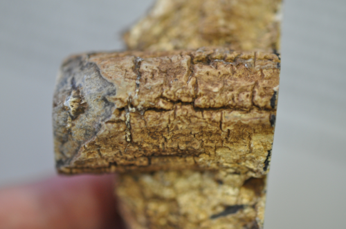 External appearance of the permineralized stem of the fossil Austrovideira dettmannae. Note tessellate bark with vertically oriented fissures, similar to modern grape vines.