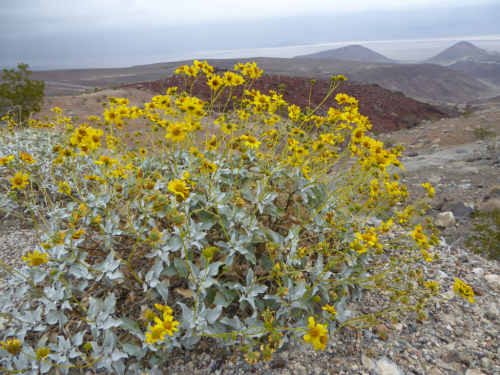 The diversity of soils and climate gradients associated with the southwest US and northern Mexico provide a mosaic of habitats for adaptable plant groups. Here a Gerea canescens (Heliantheae tribe) overlooks the geochemically and topographically varied rim of Death Valley, Nevada. (photo by R. Edwards)