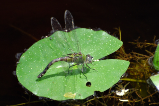 Dragonfly sitting atop a water lily (Nymphaea sp.) near CEIBA Biological Field Station, Guyana. (photo by Godfrey Bourne)