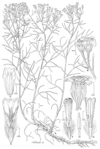 Hymenoxys ambigens (S.F. Blake) Bierner var. neomexicana W.L. Wagner (Illustration by Alice Tangerini)