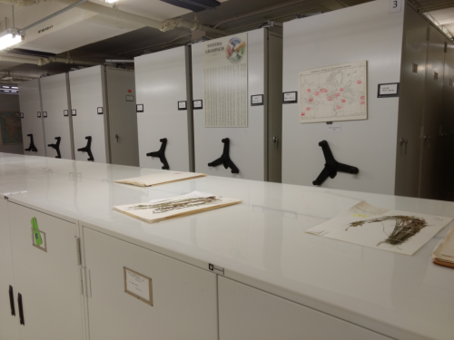 [Image] The physical overhaul of the U.S. National Herbarium includes the addition of mechanical-assist controlled compactor bays and the replacement of wooden cabinets with new herbarium cabinets. (photo by Gary Krupnick)