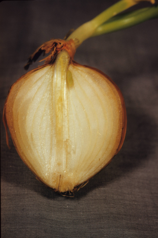 Onion (Allium sp.) (photo by R.A. Howard)