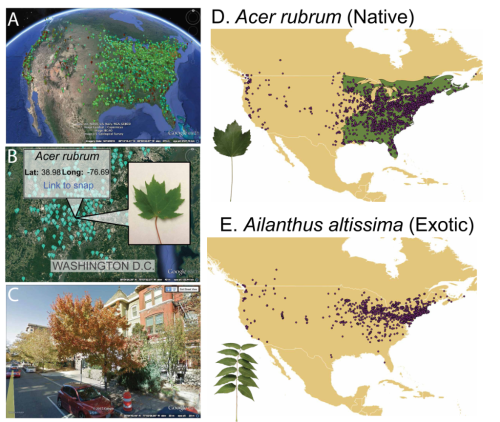 LeafSnap data can be imported to Google Maps to visualize in some cases the tree where distribution and identification data were collected (A-C). Using these records, the researchers tracked the distribution of native and exotic trees all over North America. Both Acer rubrum and Ailanthus altissima are shown as examples (D-E).