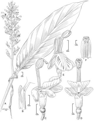 Alpinia modesta F.Muell. ex K.Schum. (illustration by Alice Tangerini)