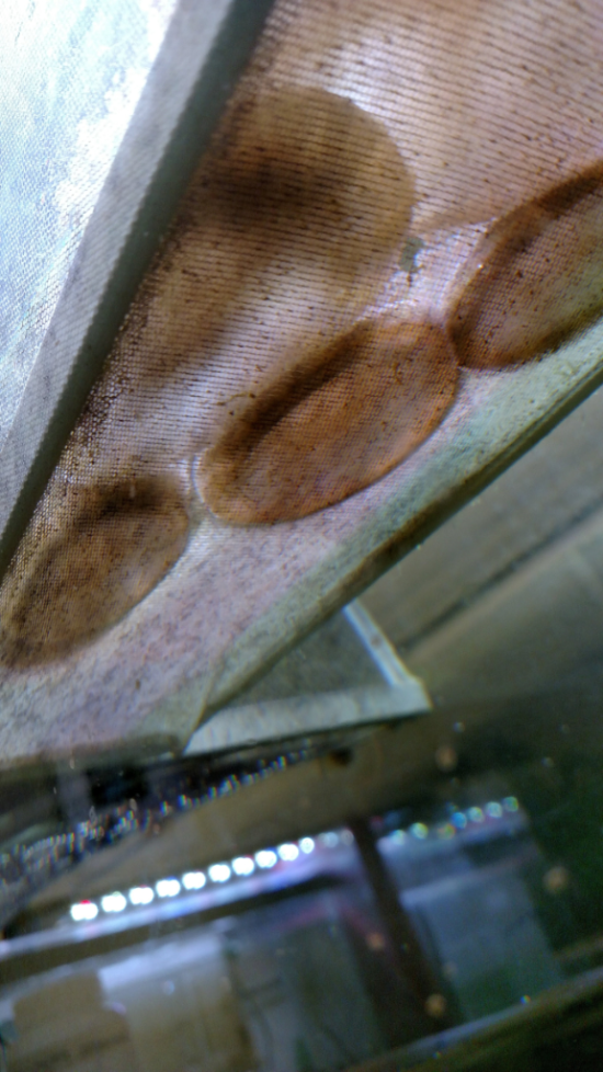 Cassiopea are unique in their upside-down lifestyle.  This is an upward view from under the soft mesh we use as a barrier between our delicate jellies and the intake of the water filter.