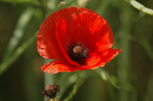 Papaver rhoeas (photo by Gary Houston [CC0], from Wikimedia Commons)