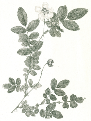 A metalpoint drawing of Rosa carolina by Kandy Phillips. The drawing was inspired by the poems of Emily Dickinson.