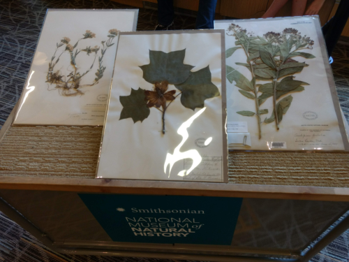 Some of the pollinator-friendly plant specimens from the U.S. Naitonal Herbarium that were on display during Pollinator Family Night. (photo by Gary Krupnick)