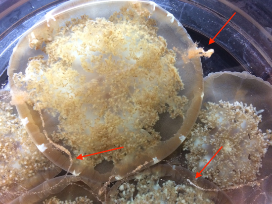 Brine shrimp (red arrows) stuck in mucus of Cassiopea.