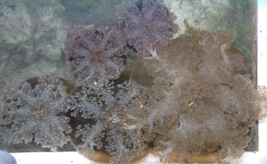 Some of our largest Cassiopea; the jellyfish on the right is approximately 5 inches across!  This is an aerial view, making it easy to see why these are called upside-down jellyfish.