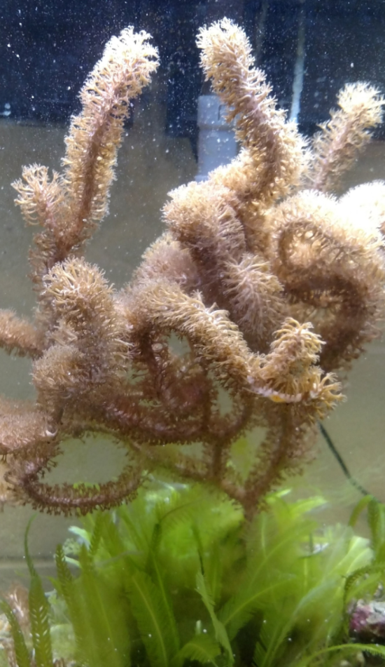 Another AquaRoom dweller, our lovely octocoral (Class Anthozoa, Subclass Octocorallia).  At one point, one of this coral's arms was knocked off, so we actually have an additional (albeit much smaller) coral that is doing just fine on its own!