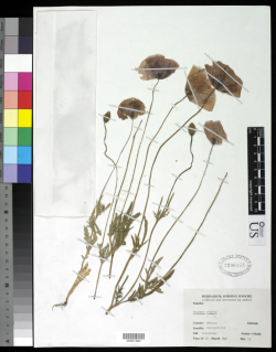 A specimen of Papaver rhoeas collected in 1910 by Herman Knoche in Montpellier, France.