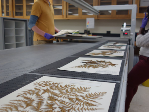 Digitizing specimens on the rapid conveyer belt.