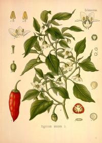 Capsicum annuum L. from Köhler's Medizinal-Pflanzen in Naturgetreuen Abbildungen mit Kurz Erläuterndem Texte. 1883-1914. Gera-Untermhaus, Germany. http://biodiversitylibrary.org/page/303190