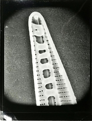 Paul Conger's unpublished scanning electron microscope image of Baccillaria paradoxa. Interior view at tip of cell showing raphe enclosed by connecting bridge structures of the valve.