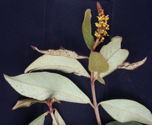 Mcvaughia sergipana is another representative of the small endemic genus from the seasonally dry tropical forests of Brazil. (photo by R.F. Almeida)