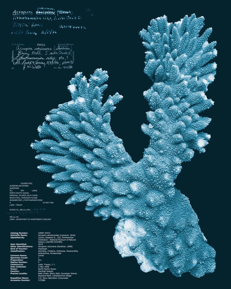 Acropora rotumana