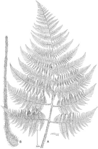 Dryopteris macropholis frond&rhizome 4499