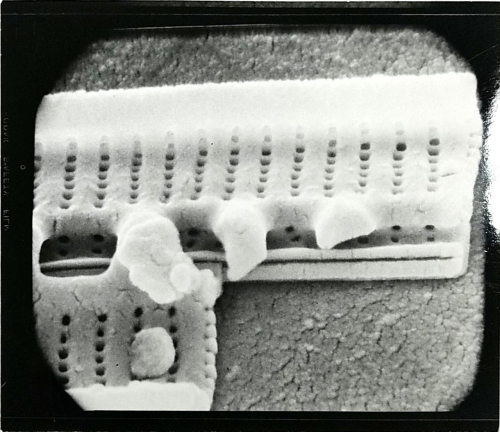 Paul Conger's unpublished scanning electron microscope image of the diatom, Baccillaria paradoxa. Broken valve showing interior structure and exposing one side of the raphe.